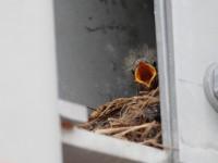 タマシギペアとハクセキレイの営巣