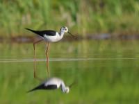 水辺の旅鳥たち