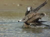 ウミネコ幼鳥の水浴び