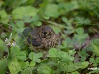 コルリの巣立ち雛