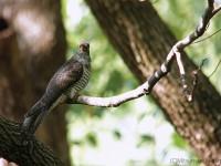ツツドリ幼鳥など