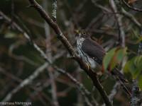 ジュウイチ幼鳥
