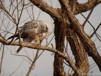 ケアシノスリ幼鳥