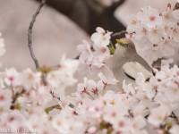 桜とカラムクドリ