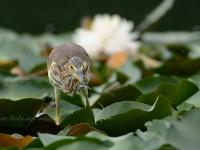 アカガシラサギ幼鳥