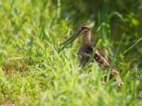 外側尾羽黒めのオオジシギ成鳥