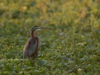 ムラサキサギの成鳥と幼鳥