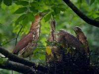ミゾゴイの営巣