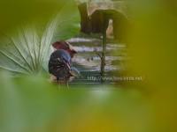 公園の池に現れたタカサゴクロサギ
