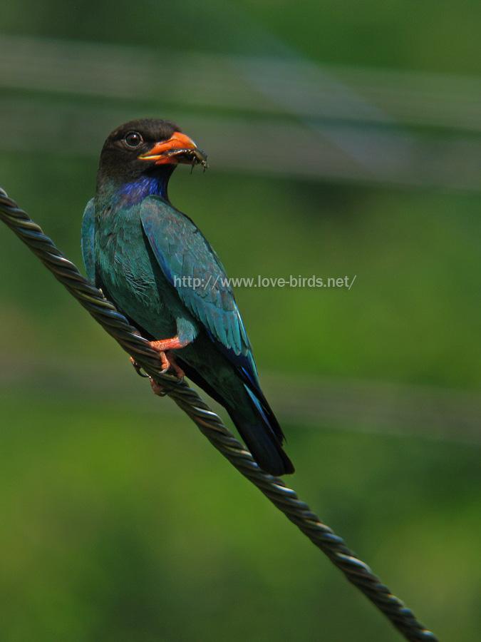ブッポウソウ | LOVE-BIRDS.NET