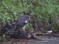 カケスを捕食するツミ