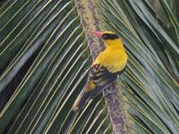 マレーシアの日本にも来る鳥