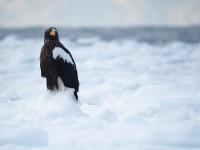 氷上のオオワシ