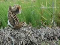 オオジシギ幼羽から第1回冬羽に換羽中