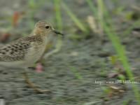 コモンシギ幼鳥