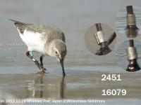 海岸の鳥とフラッグ付ハマシギほか