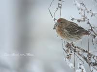雪の中のオオマシコ