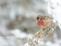 雪の中のベニマシコ