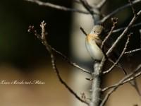ニシオジロビタキ雄成鳥