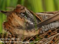 2羽のハリオシギ幼鳥とその尾羽