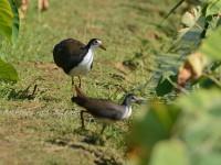 水田の野鳥いろいろ