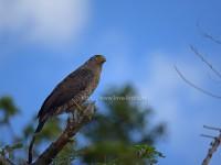 カンムリワシの成鳥と幼鳥