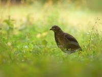 都市公園に現れたミゾゴイ幼鳥