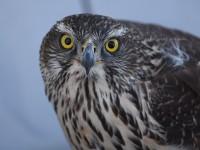 バイパス道路のオオタカ幼鳥