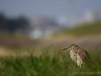 河川敷のアカガシラサギ幼鳥