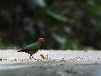 石垣島のキンバト