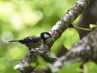 奄美大島探鳥⑤小鳥やハトなど