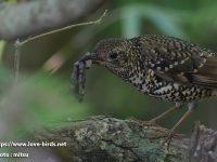 奄美大島探鳥①オオトラツグミ