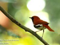 奄美大島探鳥②亜種アカヒゲ