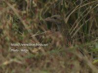 巨椋干拓に現れたウズラクイナ