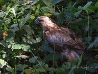 ミミズを食べるノスリ幼鳥