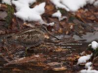 残雪とアオシギ